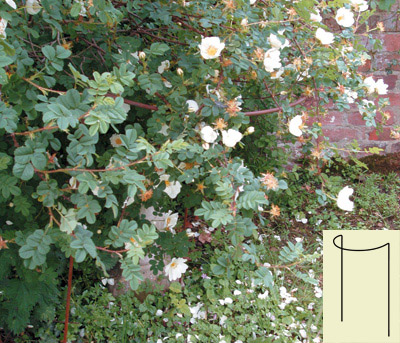 Rose & Shrub Supports <span>(see photo left)</span>
